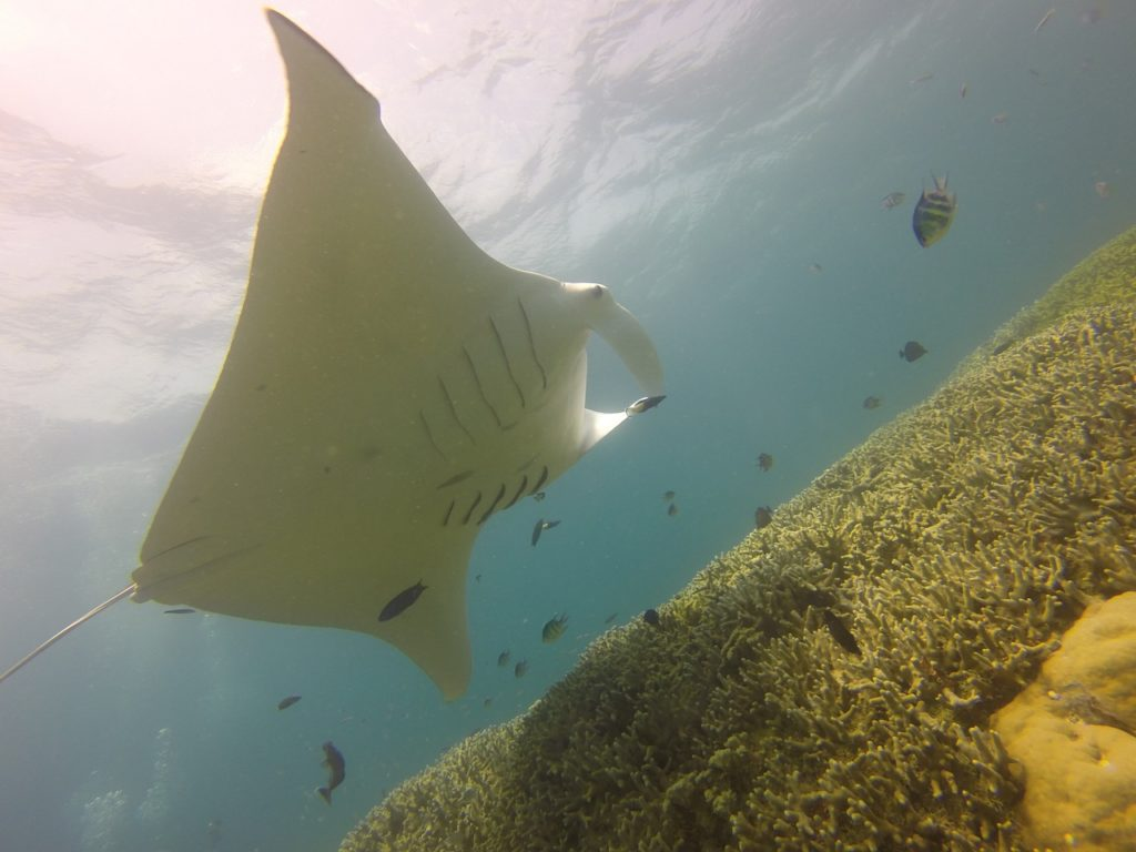 Clark Weeks recommends scuba diving at Blue Corner in Micronesia - Manta Ray Sighting
